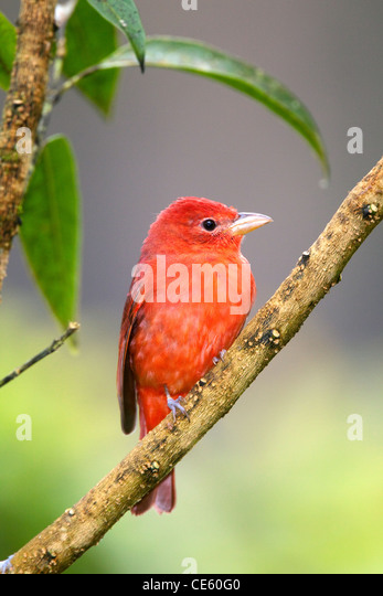 Summer Tanager Piranga rubra San Jose, COSTA RICA 7 November Adult Male Thraupidae - Stock-Bilder