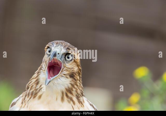 Close up of screeching bird of prey - Stock Image