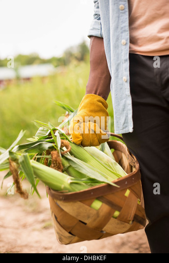 Working on an organic farm. A man holding a basket full of corn on the cob, vegetables freshly picked. - Stock Image