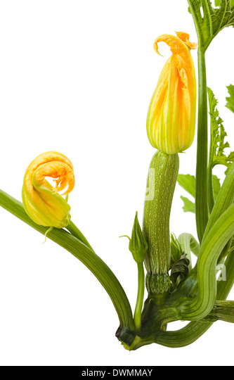 Courgette plant with flowers on white background - Stock Image