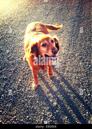 Canada, Alberta, Dog walking down gravel road - Stock Image