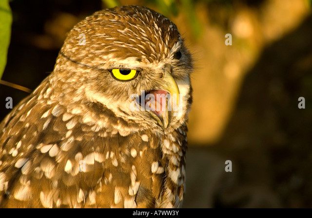 Burrowing owl mouth beak open fierce alarm - Stock Image