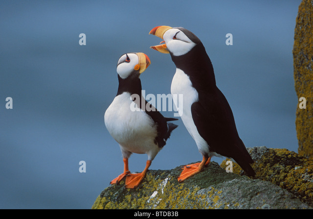 Horned Puffin pair on ledge, courtship display, Round Island, Walrus Islands State Game Sanctuary, Bristol Bay, - Stock Image