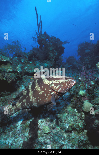 nassu grouper portrait underwater at coral reef with surface reflection in background - Stock Image