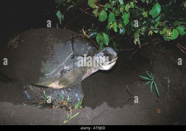 Costa Rica Tortuguero green sea turtle nesting tangled in tree roots - Stock Image