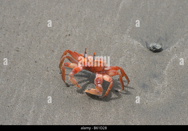 A bright orange ghost crab (Ocypode spp.) scurries along the sand of Pacific coast beach in Costa Rica. - Stock-Bilder