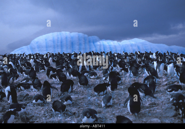 ANTARCTICA Penguins with Iceberg in background cold blue light - Stock Image