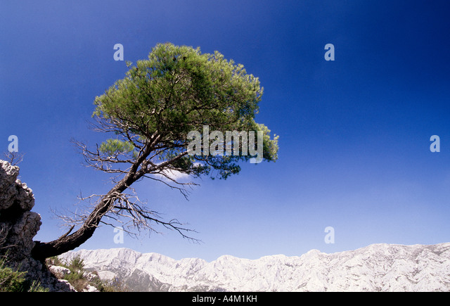 mountain pine single women Pinus genus (pine) 121 species with 784 trinomials lots of people equate the term 'conifer' with the term 'pine' that's because the pine family is the biggest conifer family, and in many cases, pines are the conifers with which most people are familiar.