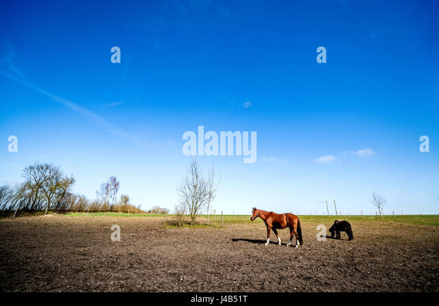 Rural landscape with two grazing horses on a field in the springtime on a sunny day with blue sky - Stock Image