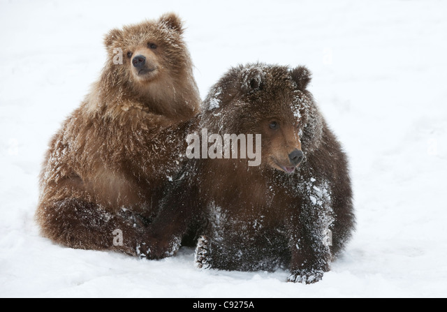 CAPTIVE: Pair of Kodiak brown bear cubs play and wrestle in the snow at Alaska Wildlife Conservation Center, Alaska - Stock Image