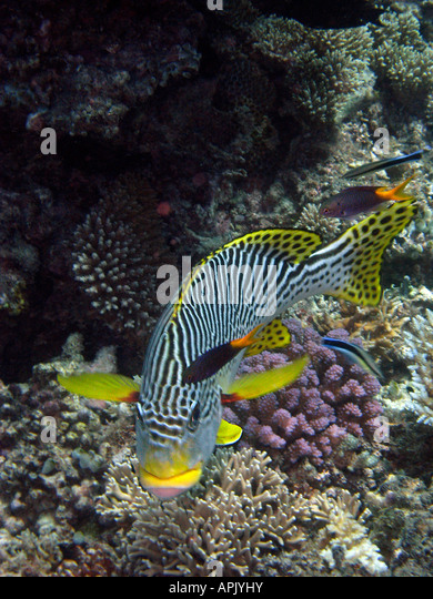 Diagonal Banded Sweetlips Plectorhinchus lineatus Agincourt Reef Great Barrier Reef North Queensland Australia - Stock Image