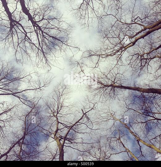 Looking up at tree tops. - Stock-Bilder