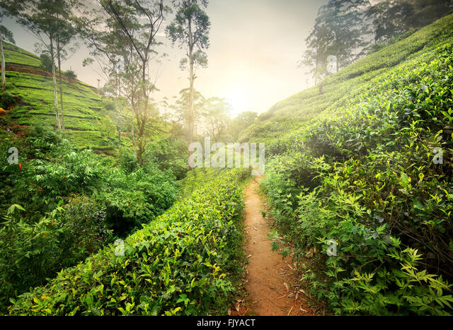 Footpath in tea plantation at sunset, Sri Lanka - Stock Image
