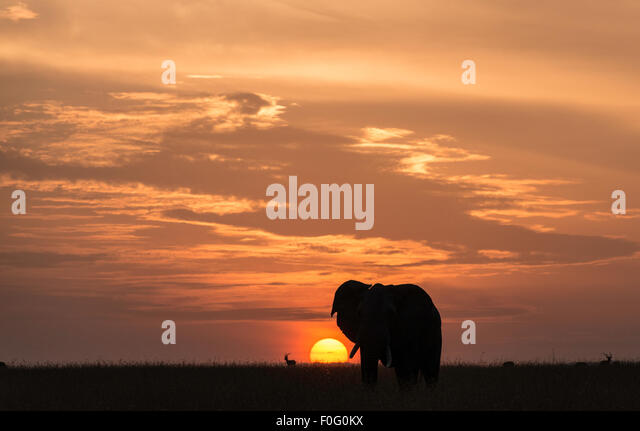 Adult African elephant at dawn Mara North conservancy Kenya Africa - Stock Image