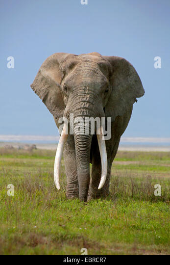African elephant (Loxodonta africana), bull elephant with very big tusks, Tanzania, Serengeti National Park - Stock Image