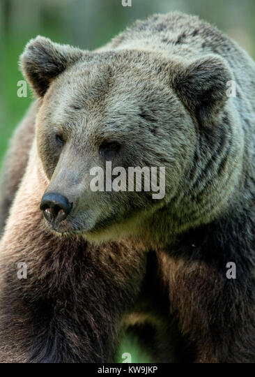 rasian Brown Bear, Finland - Stock Image