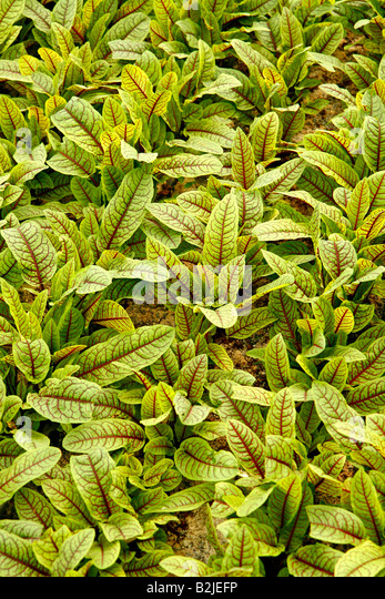 Sorrel leaves for restaurants in a greenhouse. - Stock Image