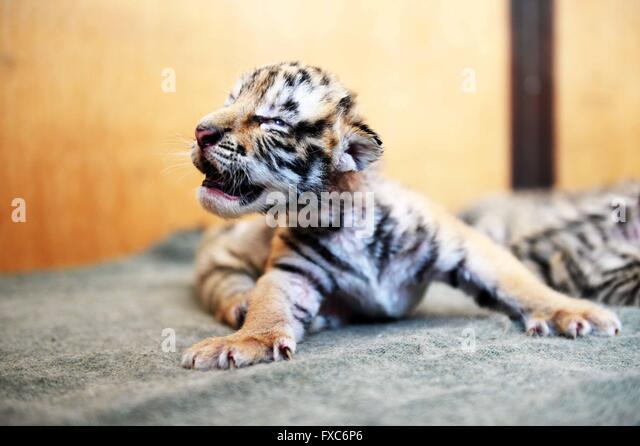 Harbin. 14th Apr, 2016. Photo taken on April 14, 2016 shows a tiger cub at the siberia tiger park in Harbin, northeast - Stock Image