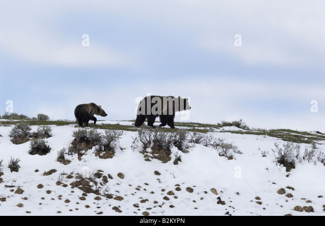 Grizzly Silhouette - Stock-Bilder