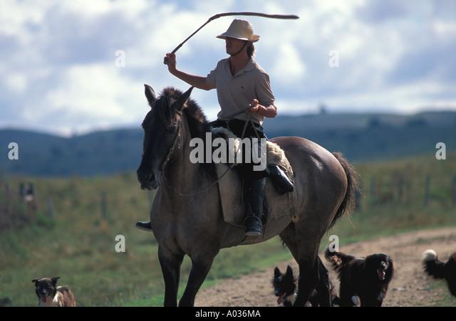 Uruguay herding cattle man on horseback dogs gaucho - Stock Image