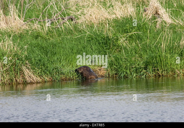 Beaver entering a prairie pond, Pipestone National Monument, Minnesota. - Stock Image