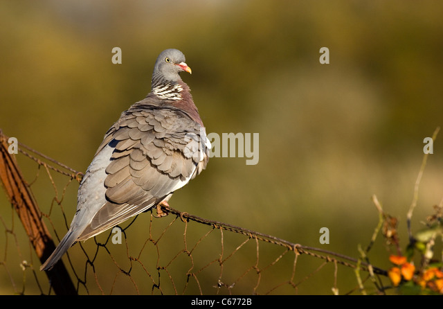 WOOD PIGEON Columba palambus  An adult, its feathers ruffled, perched on a rusty wire fence Gloucestershire, UK - Stock-Bilder