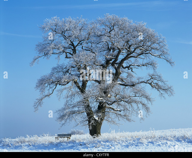 Solitary old Oak (Quercus robur), with a wooden bench in the snow, Thuringia - Stock Image