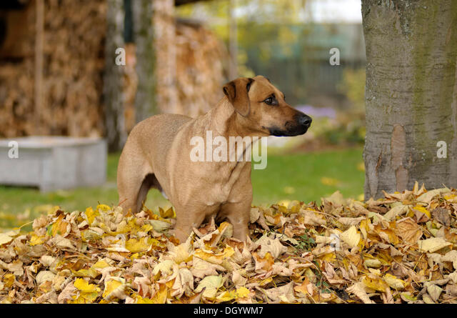 Mixed-breed Rhodesian Ridgeback standing in a pile of leaves - Stock Image