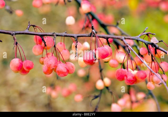 Red autumn fruits of Transitoria Crabapple, Transitoria Crab apple, Malus transitoria - Stock Image