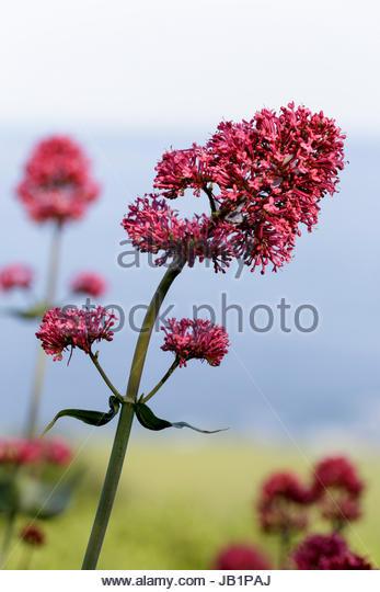 Centranthus ruber, red valerian - Stock Image