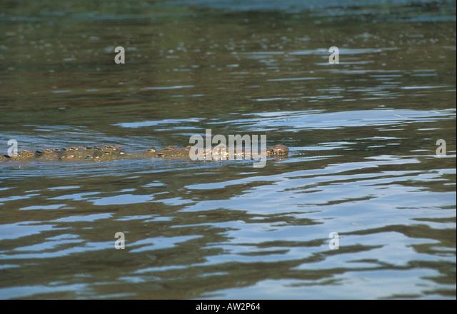 Costa Rica crocodile swimming in river Tortuguero area - Stock Image