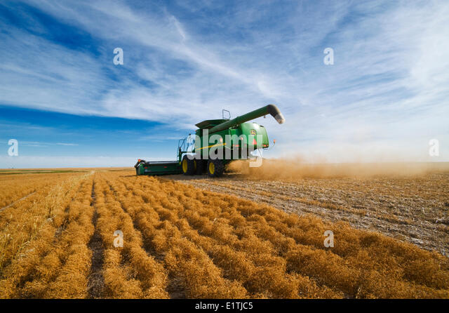 a combine harvests lentils near Congress,  Saskatchewan, Canada - Stock Image
