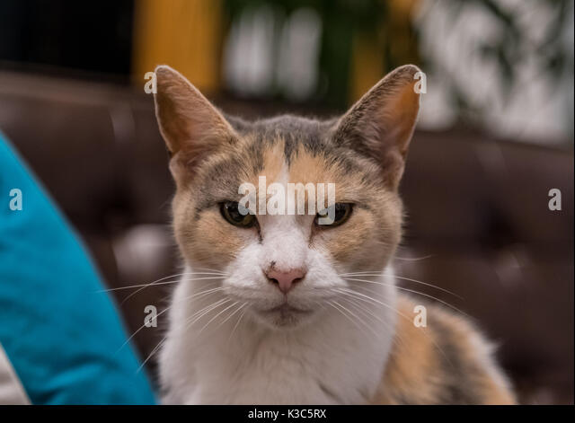 Grumpy Old Cat Stares at Camera on leather couch - Stock Image