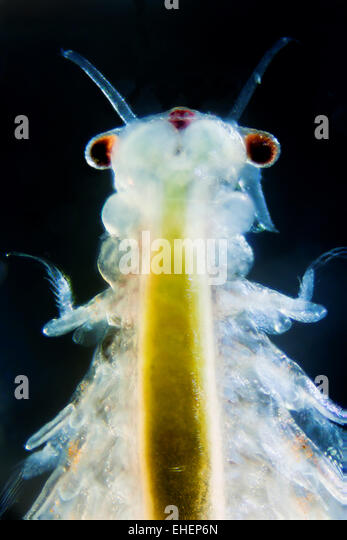 how to tell if brine shrimp hatched