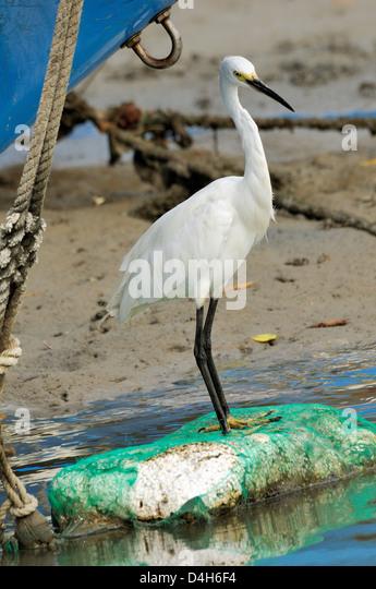 Little egret (Egretta garzetta) scanning for fish from shoreline of tidal creek near fishing boats, Tamsui (Danshui), - Stock Image