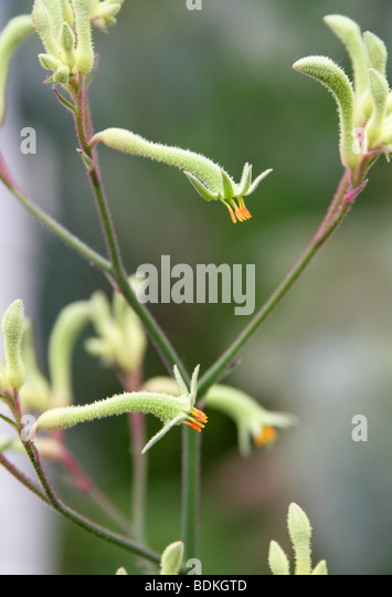 Evergreen Kangaroo Paws, Anigozanthos flavidus, Haemodoraceae, Western Australia - Stock Image