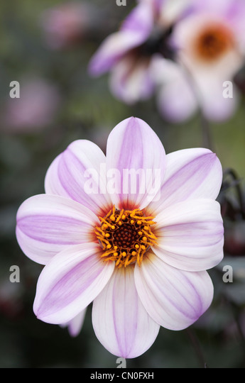 Dahlia 'Candy eyes', Dahlia - Stock Image