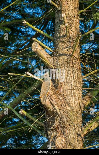 Evergreen trees heavily pruned along roadside. - Stock Image