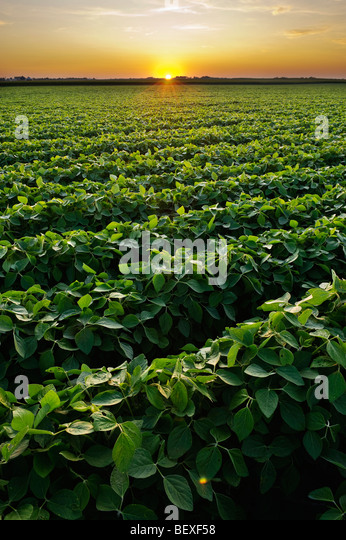 Agriculture - Healthy mid growth soybean crop in mid Summer at sunset / Iowa, USA. - Stock Image