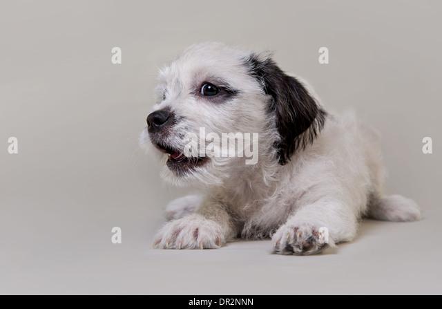Happy puppy smiling on light grey studio backdrop. - Stock Image