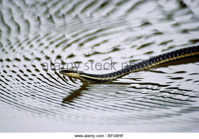 Madagascar water snake swimming, Liopholidophis lateralis, Madagascar - Stock-Bilder