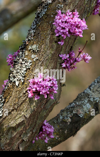Cauliflory stock photos cauliflory stock images alamy - Flowers that grow on tree trunks ...