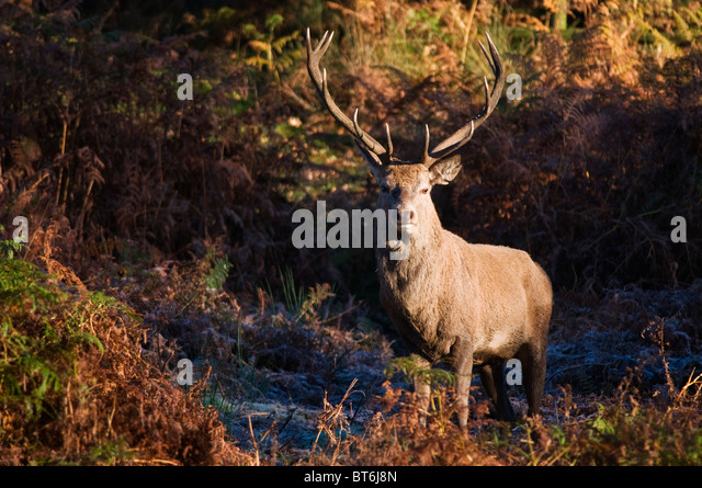 Red Deer (Cervus Elaphus) during Autumnal Rut - Stock Image