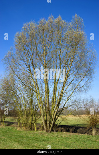 salix singles The plant list includes a further 617 scientific plant names of infraspecific rank for the genus salix.