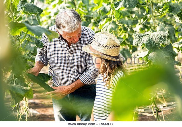 View through foliage of grandfather and granddaughter picking cucumber - Stock Image