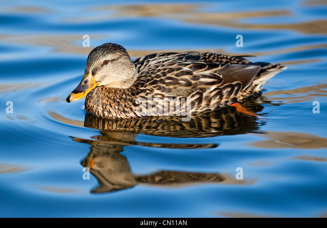 Female mallard - Anas platyrhynchos, UK - Stock Image