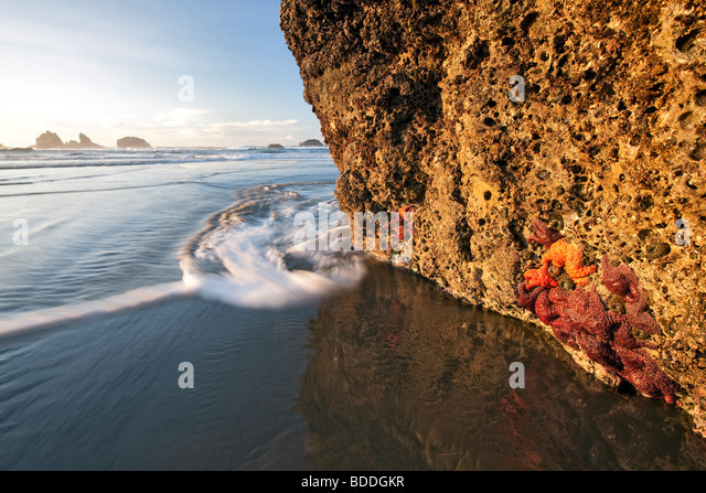 Star fish at low tide. Bandon, Oregon - Stock Image