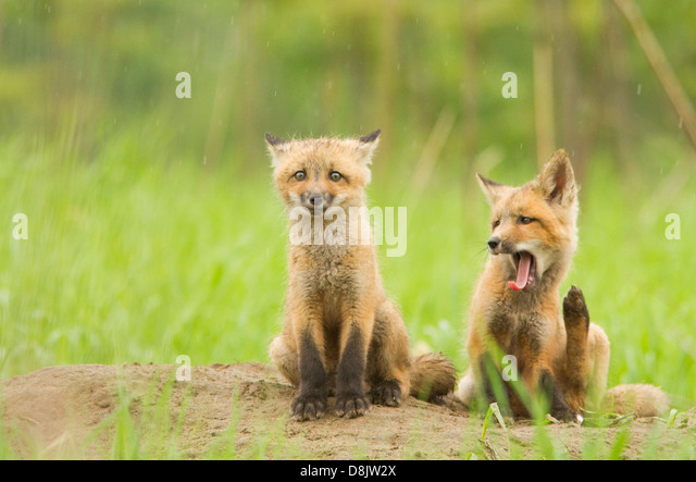 Red fox cubs (Vulpes vulpes) in the rainy day. - Stock Image