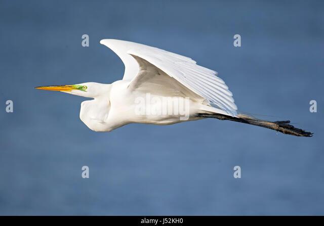 Great Egret in Flight - Stock Image