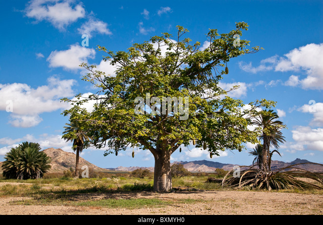 Tamarind Tree Stock Photos & Tamarind Tree Stock Images ...